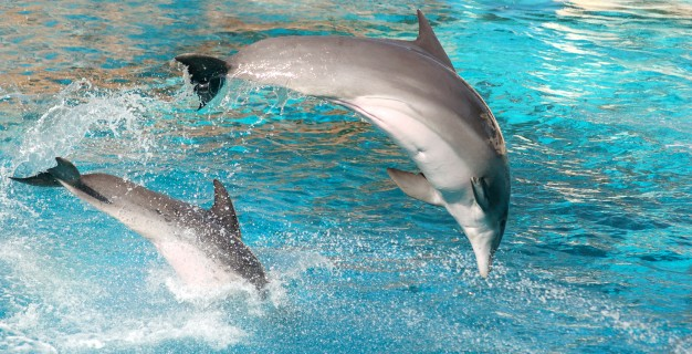 dolphin-jumping